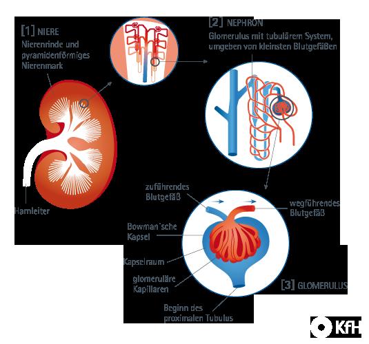 KfH e.V. - Nierenwissen: Wie sind die Nieren aufgebaut?